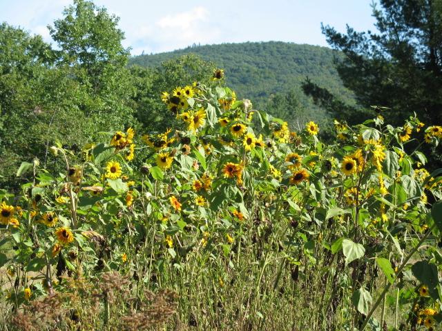 stonehamsunflowers1